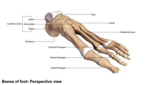 מבנה אנטומי כף רגל